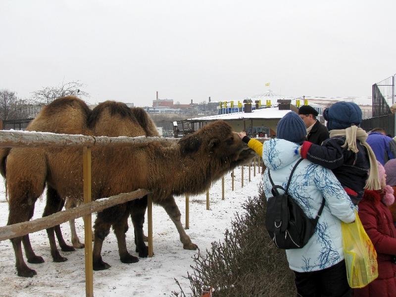 верблюды в минском зоопарке
